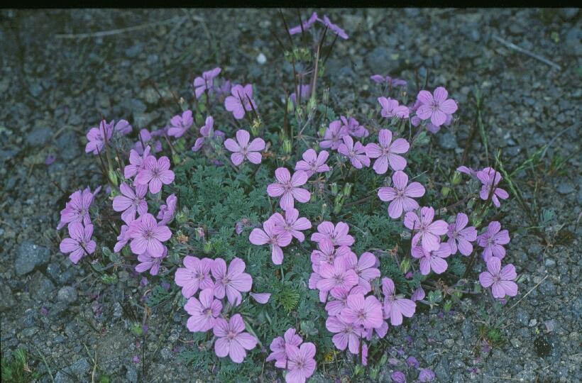 Erodium paularense