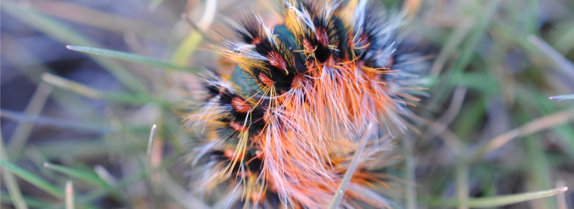Oruga de la polilla endémica Chondrostega vandalicia