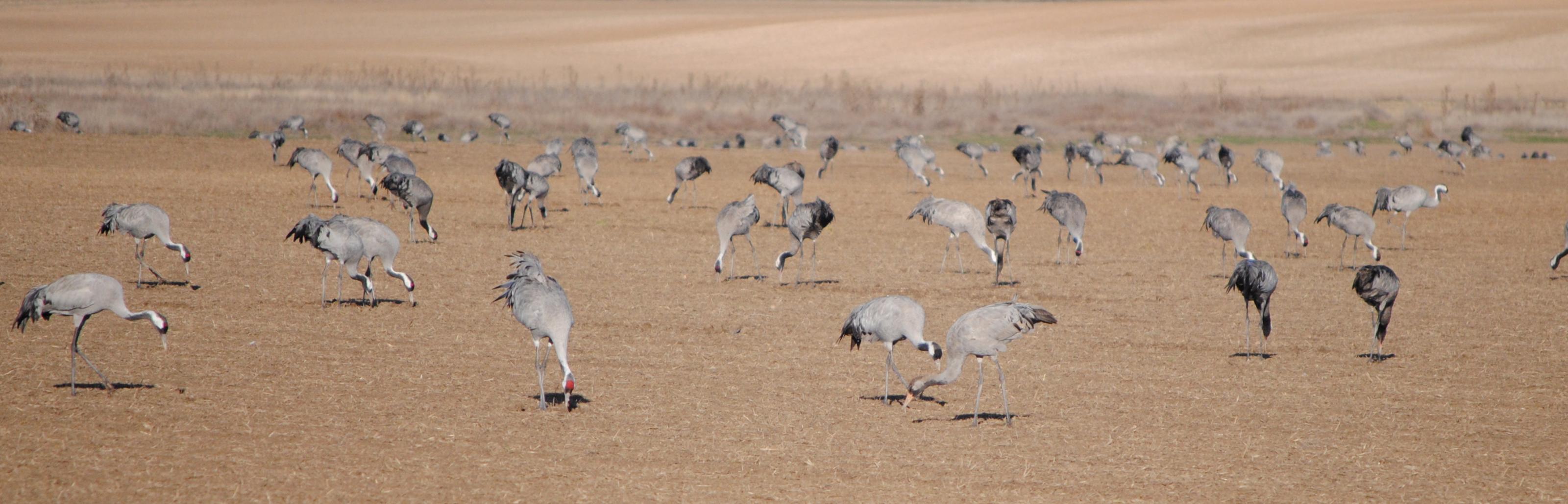 Grullas comiendo en las cercanías de la laguna de El Hito