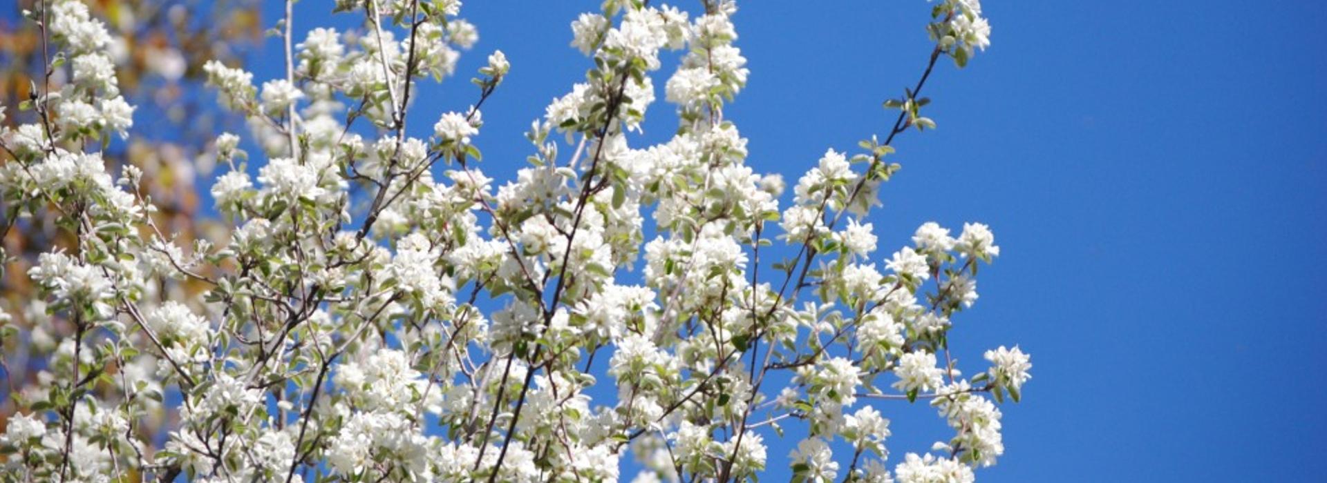 Guillomo (Amelanchier ovalis) en flor
