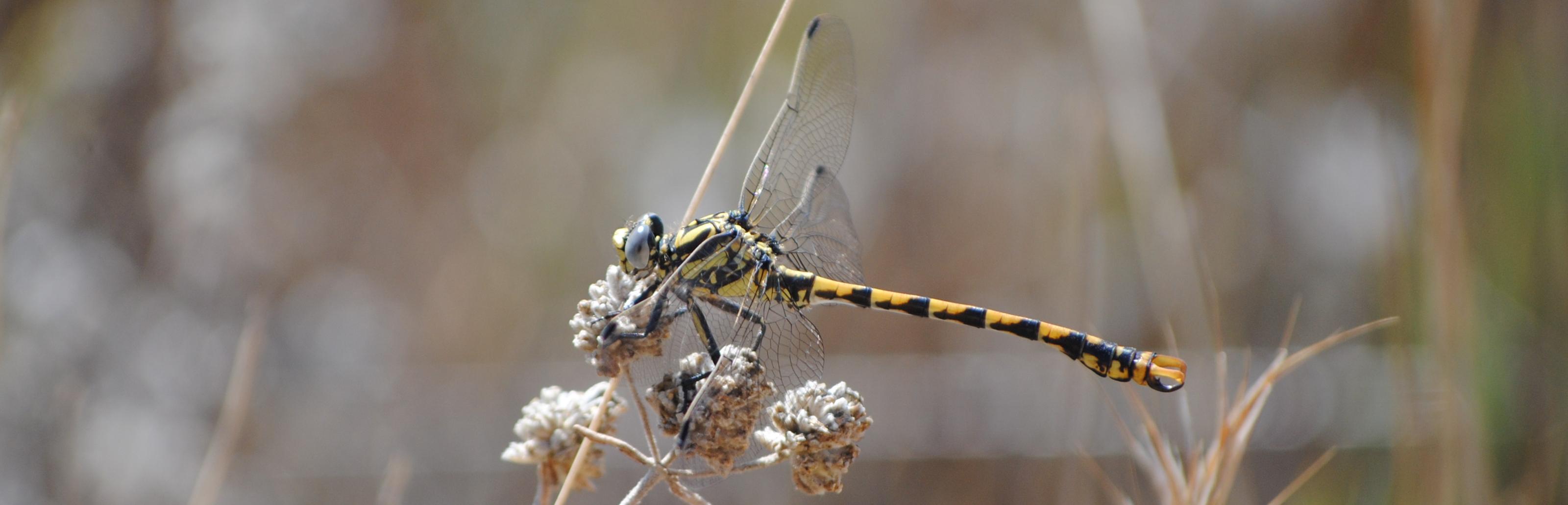 Libélula protegida en Castilla-La Mancha: Onychogomphus uncatus