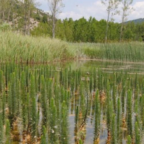 """""""Bosque"""" de Hippuris vulgaris en la laguna del Marquesado"""