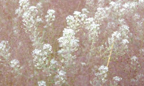 Lepidium cardamines y Agrostis nebulosa
