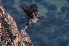 Primer vuelo del Águila perdicera antes de amanecer.Rafael Escanciano.Parque Natural Valle de Alcudia y sierra Madrona.Ciudad Real