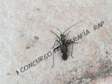 Insecto infierno