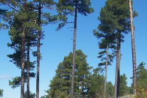 Los pinares de albar