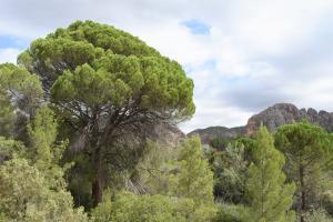 El Pino de la Fonseca, un pino piñonero de 17 m de altura y una copa de 25 m