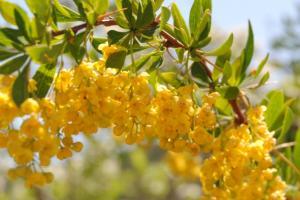 Agracejo (Berberis vulgaris) en flor
