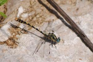 Macho de la libélula protegida Onychogomphus uncatus, que vive en la reserva natural