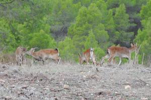 Cabras montesas en las proximidades de la reserva natural