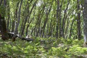 Rebollar de Quercus pyrenaica
