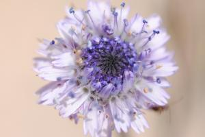 Coronilla de fraile (Globularia alypum)
