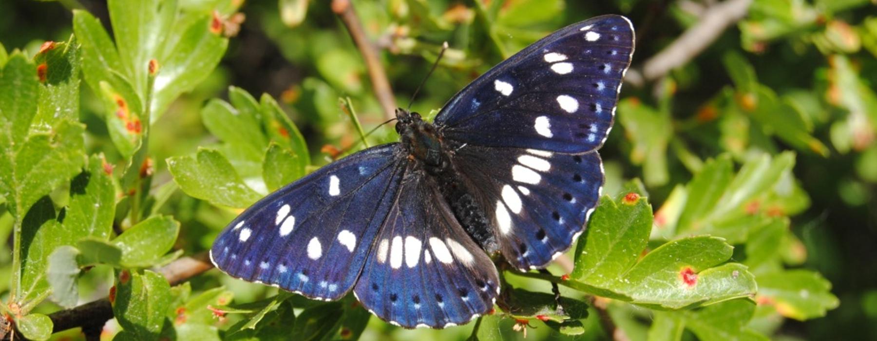 Limenitis reducta, mariposa presente en la reserva natural